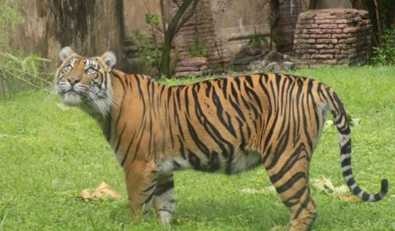 AK Tiger Mama