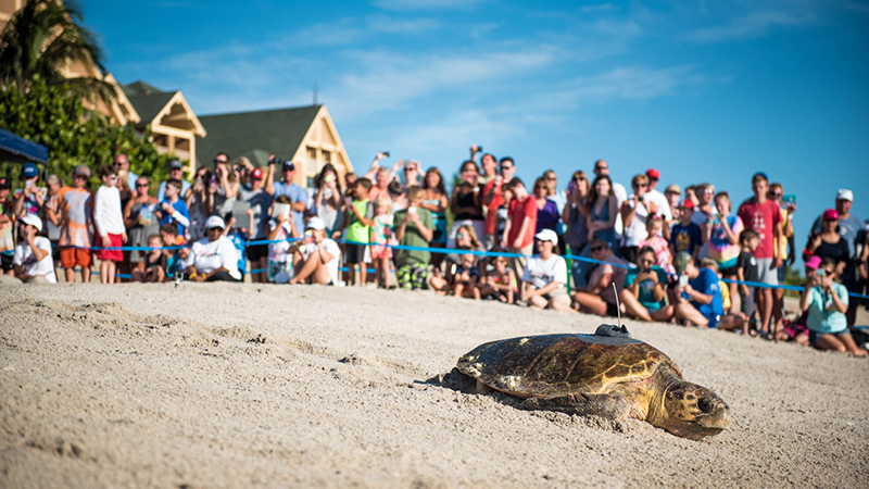 Vero Beach Hotels >> Disney's Vero Beach Resort's Annual Tour de Turtles Event
