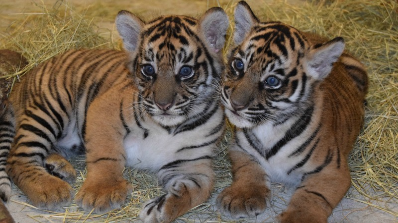 Older Sumatran Tiger Cubs