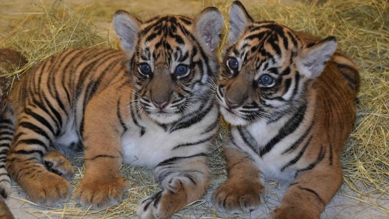 Names Announced For Endangered Sumatran Tigers Born At