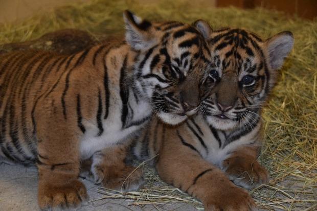 Sumatran Tiger Cubs snuggling