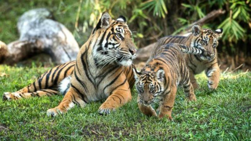 samatran tiger cubs