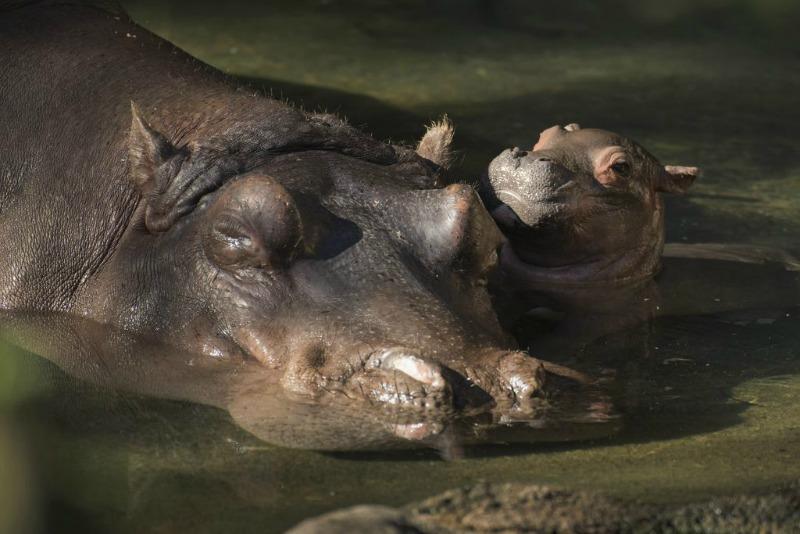 AK Baby Hippo