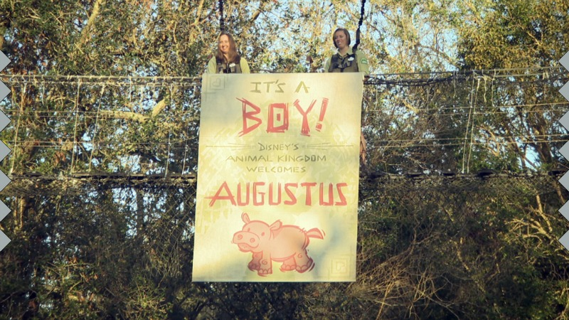 Baby Hippo Augustus