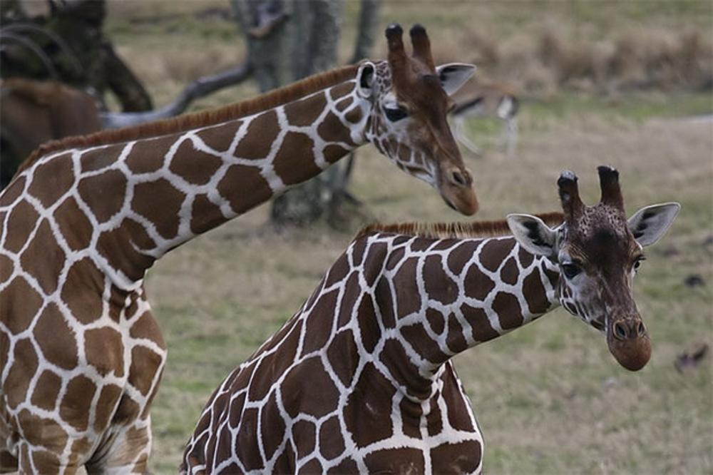 giraffe_new