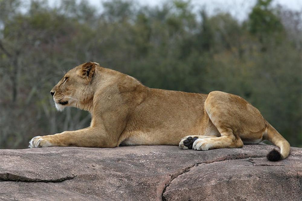lion_new