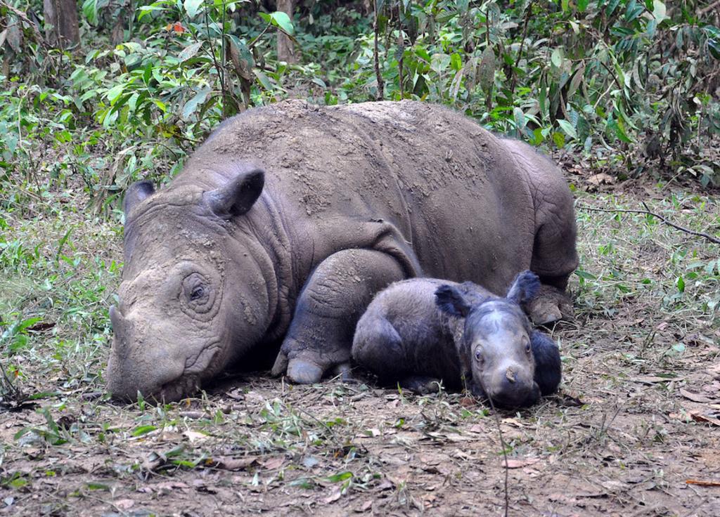 DCF Rhinos